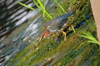 Green Heron | by raowen