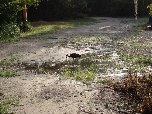 A limpkin dines too | by Erin *~*~*