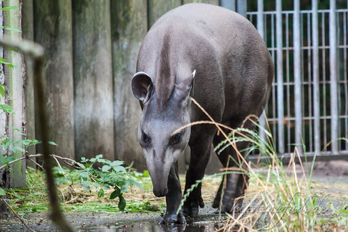 Tapir | by Blueturtles_