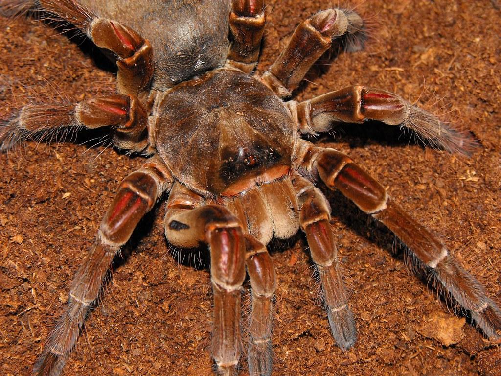 Theraphosa Blondi Goliath Bird Eater Tarantula Tj