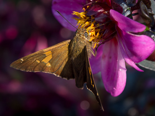 Late Summer Colors: Moth with a Fur Coat | by Entropic Remnants