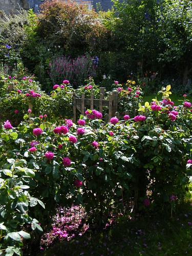 Rose de rescht hedge with herbaceous border - Mercat Cottage garden roses | by stopwatchgardener