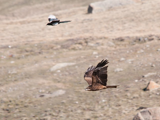 Magpie and Black Kite | by Sergey Yeliseev