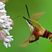 Clearwings and Bee Hawkmoths - Photo (c) Distant Hill Gardens, some rights reserved (CC BY-NC-SA)