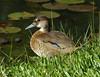Pato Yaguaso, Brazilian Duck (Amazonetta brasiliensis)  by Francisco Piedrahita