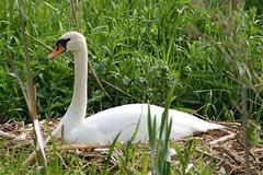 Mute Swan on well developed nest
