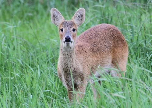 Chinese Water Deer                                                      8692