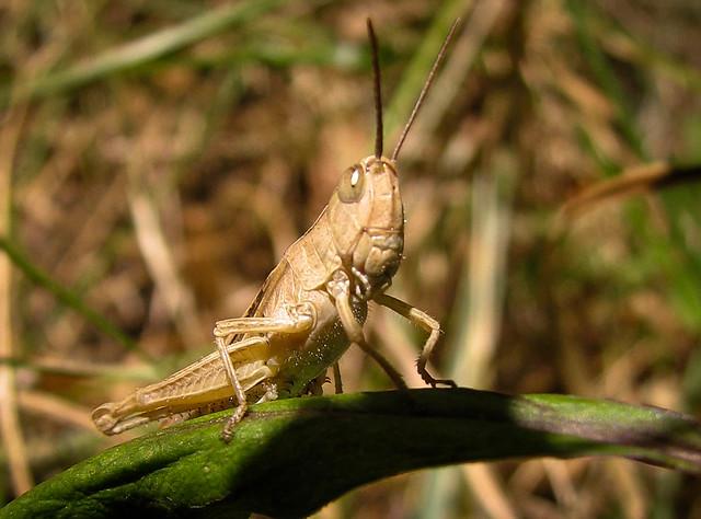 Cricket on my garden