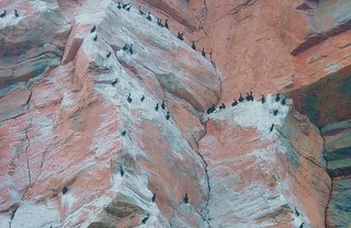 Cormorants roosting on the rockface