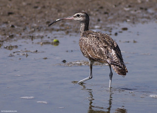 """Whimbrel (Numenius phaeopus)"" 