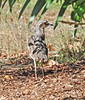 Bush Stone Curlew by Peter-Marie