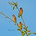 Cedar Waxwings by cwnlsl