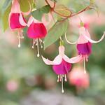 Fuchsia (again)
