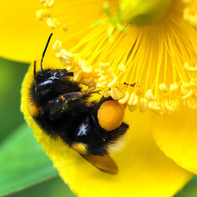 pollen pannier