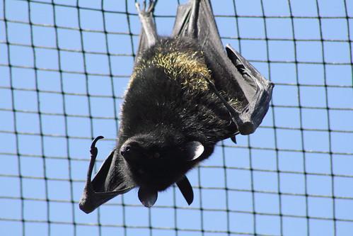Livingstone's Fruit Bat | by charliejb