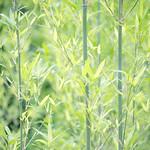若竹 Bamboo