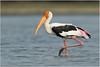 Painted Stork by Aravind Venkatraman