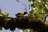 Black-winged Oriole (Oriolus nigripennis), Lake Awing, Bamenda Highlands, Cameroon, 2012-04-08--104.jpg