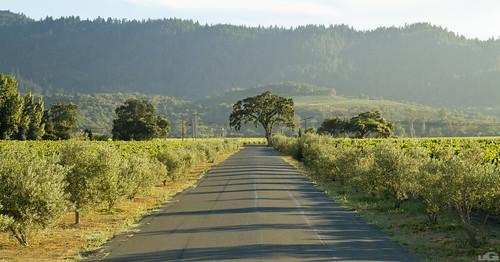 california road ca trees sunset summer sky mountain tree green nature wine hills winery driveway valley napa oakville