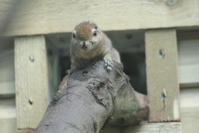 Swinhoe's Squirrel