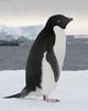 Adelie Penguin - Pygoscelis adeliae DSC_0946 by Mary Bomford