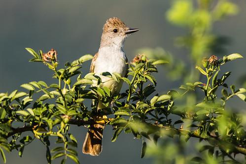 ashthroatedflycatcher myiarchuscinerascens emigrantlake jacksoncounty oregon usa markheatherington
