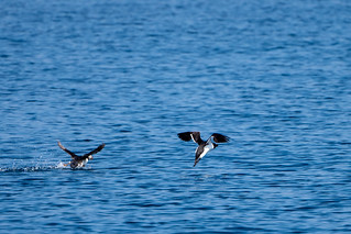 Puffin and Razorbill taking off