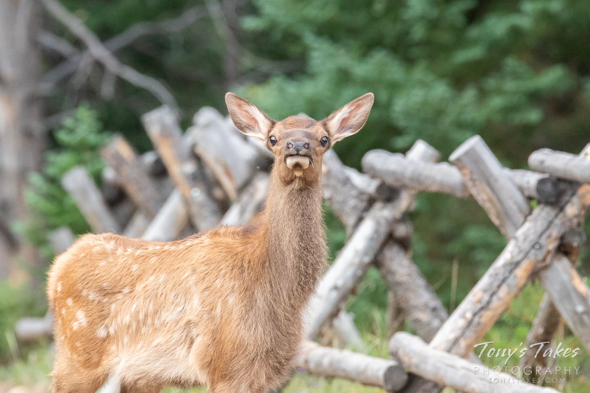 Curious little Elk calf checks out the photographer