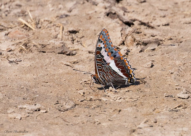 Foxy Emperor - quite an outrageously patterned butterfly, this one really was something to see