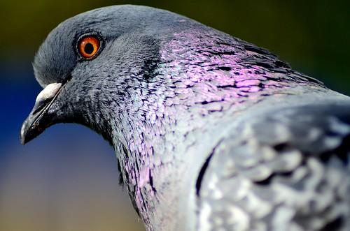 bird nikon pigeon streetphotography newbrunswick saintjohn d7000 tamron70300356g