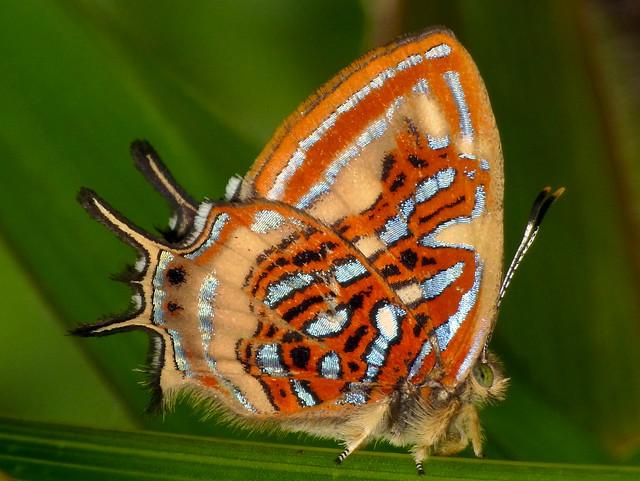 Metalmark, Sarota sp., Riodinidae