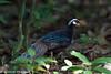 Palawan Peacock-pheasant (Polyplectron napoleonis), St Paul's Underground River National Park, Sabang, Palawan, PH, 2012-06-10- (128 of 28).jpg by maholyoak