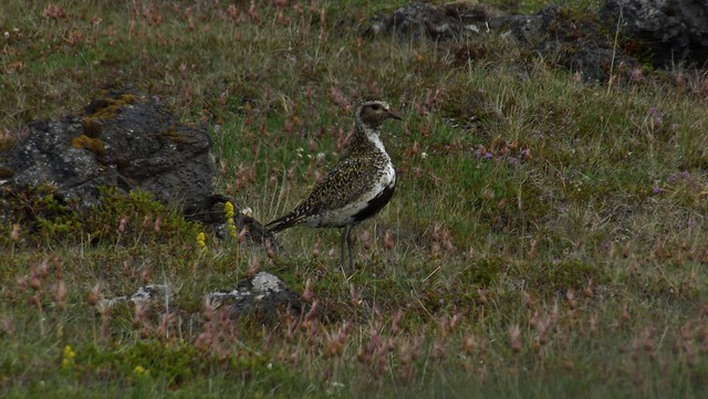 Golden Plover in the Snæfellsnes Peninsula in Iceland - July 2012
