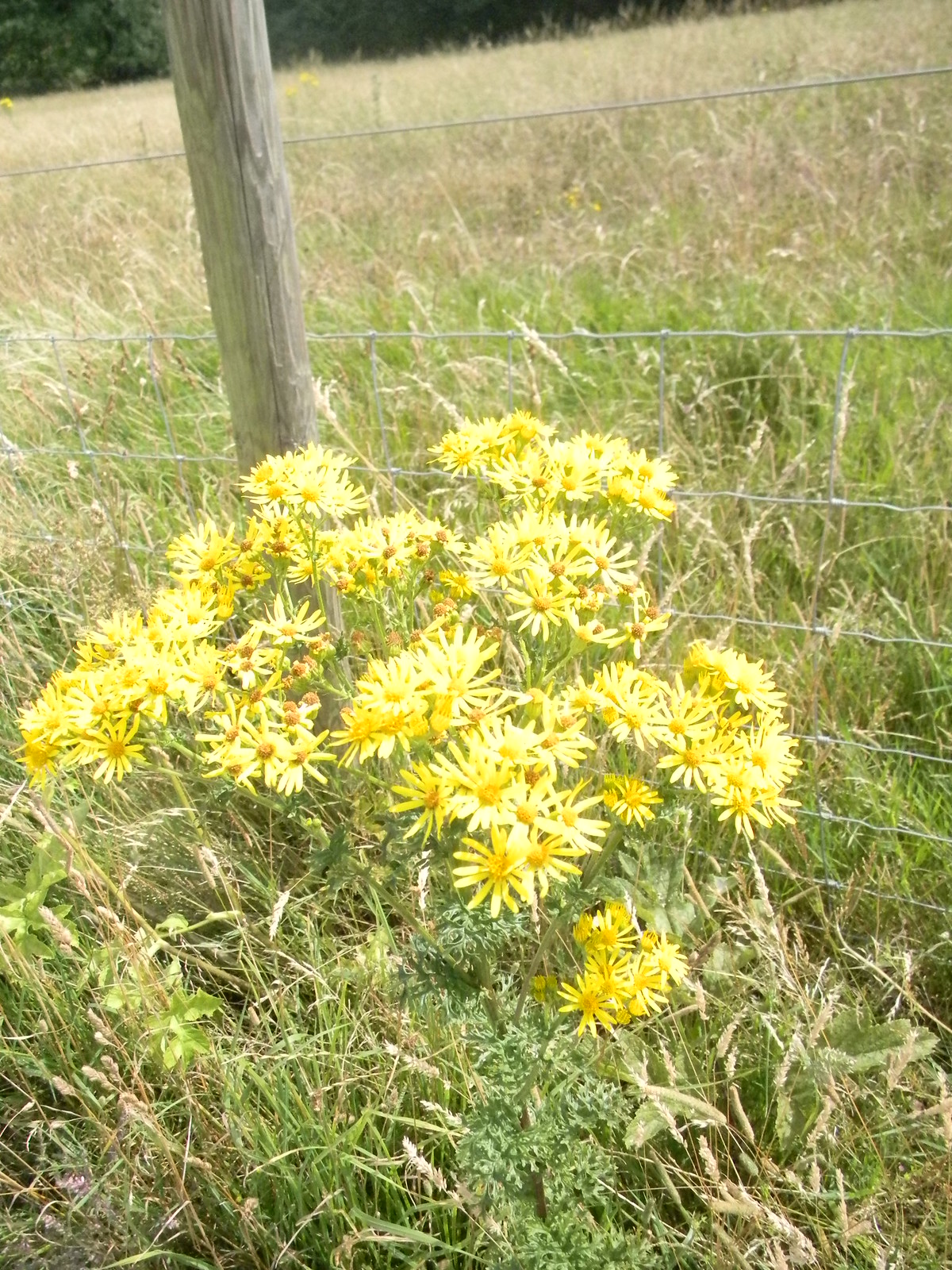 Ragwort Amberley to Shoreham