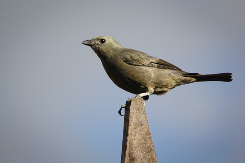 Palm Tanager | by The Colombian Way