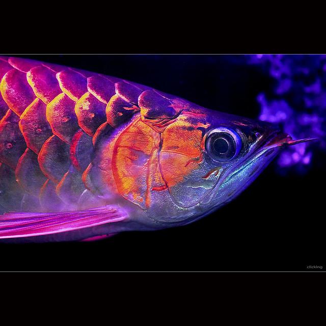 Close-up Super Red Asian Arowana Fish