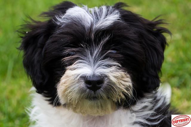 IMG_5599 Ella Maltipoo Puppy