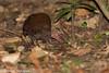 Tabon Scrubfowl (Megapodius cumingii), St Paul's Underground River National Park, Sabang, Palawan, PH, 2012-06-10- (101 of 6).jpg by maholyoak