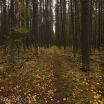Fall Lodgepole Forest