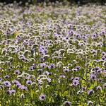 Flower meadows near Preston Park