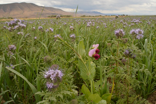 Cover Crops on Dryland Wheat? Challenge Accepted. | by NRCS Oregon
