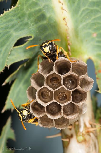 Nido de avispas con larvas en desarrollo - Paper wasp nest