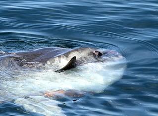 Mola Mola - Ocean Sun Fish