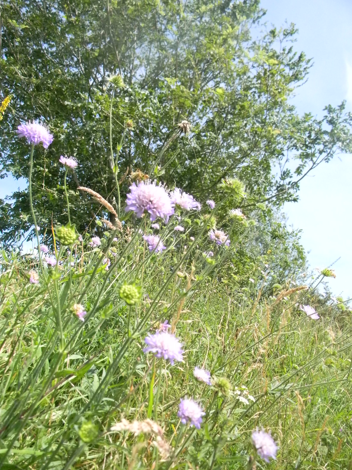 Scabious Amberley to Shoreham