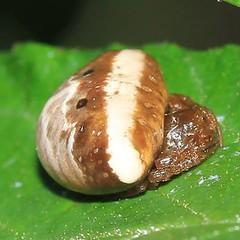 Cyrtarachne ixoides