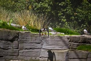 Atlantic Puffins / Papageitaucher | by Missud