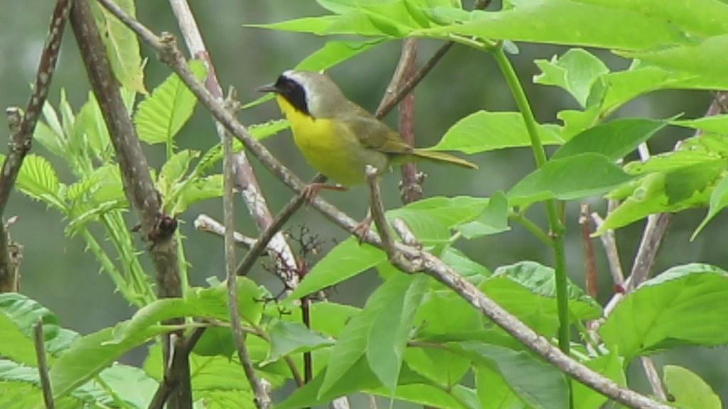 Common Yellowthroat, 3 Forks, WA 7/13/12 on Flickr