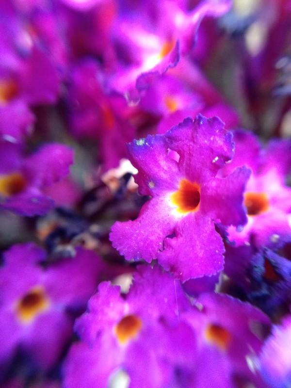 Buddleia Flowers