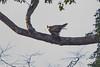 imm. Barred Honey-buzzard (Pernis celebensis), PICOP near Bislig, Mindanao, PH, 2012-06-08- (106 of 8).jpg by maholyoak