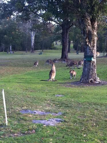 sydney australia kangaroos